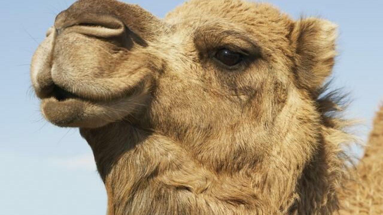 5-cosas-que-distinguen-al-camello-del-dromedario